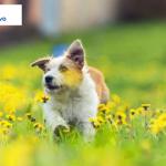kleszcze | pies biegnący przez pole | synevo